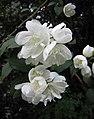 山梅花屬 Philadelphus × virginalis -波蘭 Krakow Jagiellonian University Botanic Garden, Poland- (35924538923).jpg