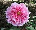 日本牡丹-聖代 Paeonia suffruticosa Seidai -日本大阪長居植物園 Osaka Nagai Botanical Garden, Japan- (40597954560).jpg