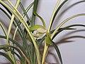 春劍-銀劍 Cymbidium longibracteatum -香港大埔蘭花展 Taipo Orchid Show, Hong Kong- (9222672526).jpg