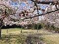 桜 - panoramio (5).jpg