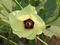 潺茄(咖啡黃葵) Abelmoschus esculentus -深圳園博園 Shenzhen Expo Garden, China- (9216100586).jpg
