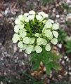 糖芥屬 Erysimum witmannii -哥本哈根大學植物園 Copenhagen University Botanical Garden- (36744794022).jpg