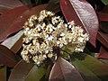 紅葉石楠 Photinia × fraseri -武漢木蘭花海樂園 Wuhan, China- (33898673770).jpg