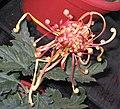 菊花-太平之寶雞 Chrysanthemum morifolium 'Treasured Chicken' -中山小欖菊花會 Xiaolan Chrysanthemum Show, China- (11961470213).jpg