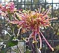 菊花-金雀羽 Chrysanthemum morifolium 'Golden Bird Feather' -香港圓玄學院 Hong Kong Yuen Yuen Institute- (12099376824).jpg