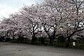 調布市・野川の桜 2010.04.04 8-20 - panoramio.jpg
