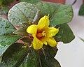 過路黃(金錢草) Lysimachia christinae -香港花展 Hong Kong Flower Show- (9216110490).jpg