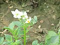 -2018-09-04 Flowering potato plant, Trimingham, Norfolk.JPG