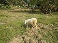 0306Sheep–goat hybrids 06.jpg