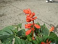 0998Ornamental plants in the Philippines 48.jpg