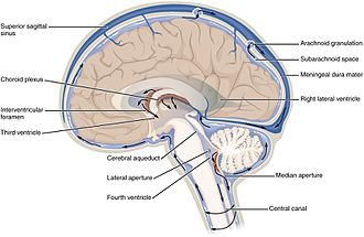 Cerebrospinal fluid - The cerebrospinal fluid (CSF) circulates in the subarachnoid space around the brain and spinal cord.