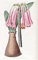 1462 Cyrtanthus carneus.jpg