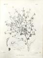 151918 Delphinium mauritanicum Cosson 1882-1890.png