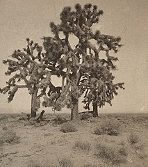 1882, Yucca trees (cropped).jpg