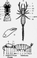 1911 Britannica-Arachnida-Koenenia mirabilis.png
