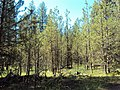 2010. Pine butterfly and sawfly defoliation. Malheur National Forest, Oregon. (37482529151).jpg