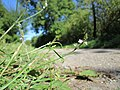 20120907Verbena officinalis1.jpg