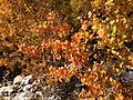 2013-10-15 14 10 41 Aspens along Lamoille Canyon Road below Terraces Picnic Site.JPG