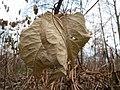 20131208Reynoutria japonica3.jpg