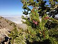2014-06-29 17 13 31 Engelmann Spruce (Picea engelmannii) boughs on a specimen located just south of the summit of Pilot Peak, Nevada.JPG