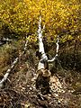 2014-10-05 14 17 45 Aspen with autumn foliage coloration which has been cut down by beavers along the Changing Canyon Nature Trail in Lamoille Canyon, Nevada.JPG