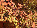 2014-10-30 11 50 15 Shrub foliage during autumn along Terrace Boulevard in Ewing, New Jersey.JPG