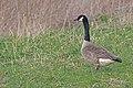 20140327 040 Kessel Weerdbeemden Grote Canadese gans (13493490453).jpg