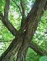 20140606Vitis vinifera subsp. sylvestris04.jpg