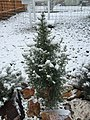 2015-04-08 07 26 48 Cultivated Utah Juniper sapling during a wet snowfall in Elko, Nevada.jpg