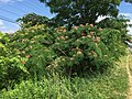 2015-06-13 16 13 36 Mimosa in bloom along Old Ox Road (Virginia State Secondary Route 606) in Sterling, Virginia.jpg
