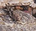 2015.07.11.-09-Mulde Eilenburg--Blaufluegelige Sandschrecke.jpg