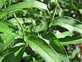 20150804Persicaria hydropiper1.jpg