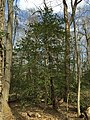 2016-03-01 13 45 45 American Holly within Fred Crabtree Park in Reston, Fairfax County, Virginia.jpg