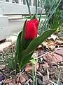 2016-03-25 12 22 05 Red Oxford Tulip blooming along Tranquility Court in the Franklin Farm section of Oak Hill, Fairfax County, Virginia.jpg
