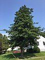 2017-09-05 12 09 31 American Holly at the intersection of New Jersey Route 31 (Pennington Road) and Crescent Avenue in Ewing Township, Mercer County, New Jersey.jpg