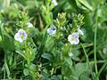 20170420Veronica serpyllifolia1.jpg