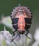 2017 08 30 Graphosoma lineatum.jpg