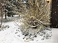 2018-03-21 08 32 02 A snow-covered forsythia along Tranquility Court in the Franklin Farm section of Oak Hill, Fairfax County, Virginia.jpg