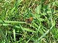 2018-05-13 (184) Female Lycaena tityrus (Sooty Copper) at Bichlhäusl in Frankenfels, Austria.jpg