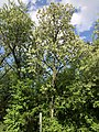 2019-05-03 16 24 38 A Black Locust blooming in a wooded area in the Franklin Farm section of Oak Hill, Fairfax County, Virginia.jpg