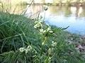 20190420Chaerophyllum temulum1.jpg