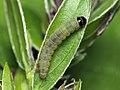 35.092 BF793 Mirificarma lentiginosella, larva (7738316256).jpg