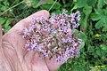 4173 Alpine flors (Mit) (37848243476).jpg