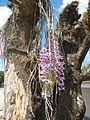 5604Camachile Doña Remedios Trinidad Orchids Bulacanfvf 10.JPG