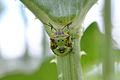 5th Instar Green Stink Bug (Chinavia hilaris) nymph (14674143121).jpg