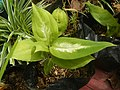 9639Ornamental plants in the Philippines 05.jpg