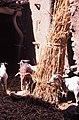 ASC Leiden - W.E.A. van Beek Collection - Dogon lifestock 03 - Goats in the house of Dogolu Saye, Tireli, Mali 1980.jpg