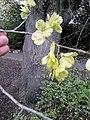 AZ0059 Ulmus x hollandica. Regent Park Road (19).jpg