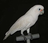 A Goffin's Cockatoo on a perch.jpg