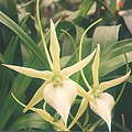 A and B Larsen orchids - Angraecum sesquipedale 391-22x.jpg